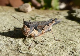 Locust -brown camo
