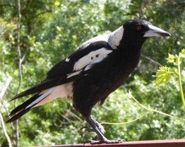 Australian Magpie with broken foot