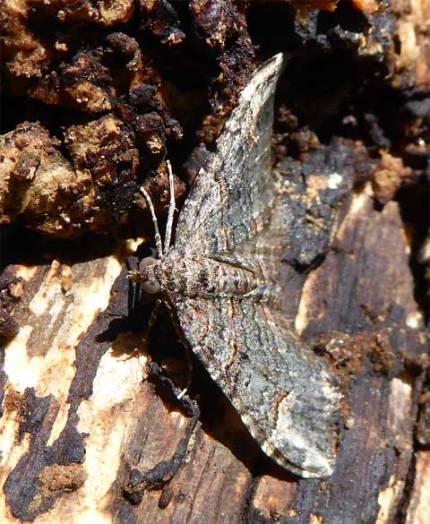 Moth hiding under bark