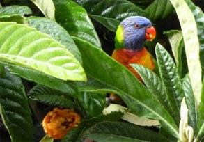 Rainbow Lorikeet eating Loquats