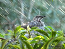 Red Wattlebird enjoying the sprinkler