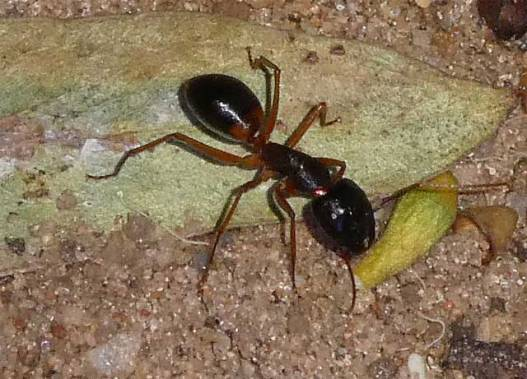 Ant foraging at night