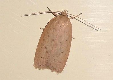 Moth - cream