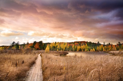 Photo: coloful sunset over fall trees and a wetlands boardwalk