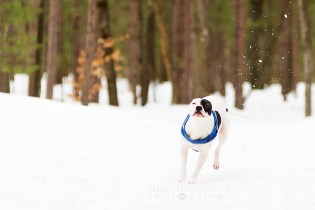 Petey Kicking Up Snow