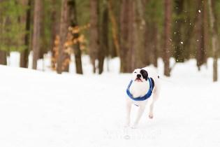 Petey Kicking Up Snow
