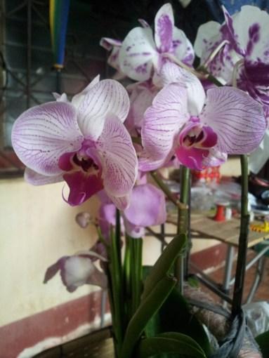 Phalaenopsis PM241