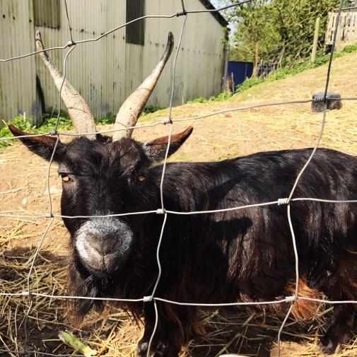 goat upclose
