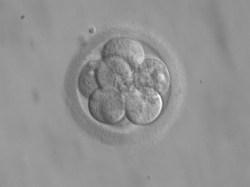 Embryo 8 cells