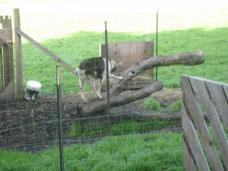 farm_goat.jpg