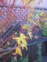 fall_tree_red_branches_yellow_leaves