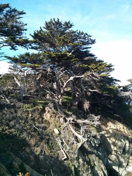point_lobos_tree