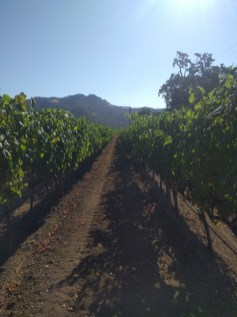 calistoga_vineyard_row