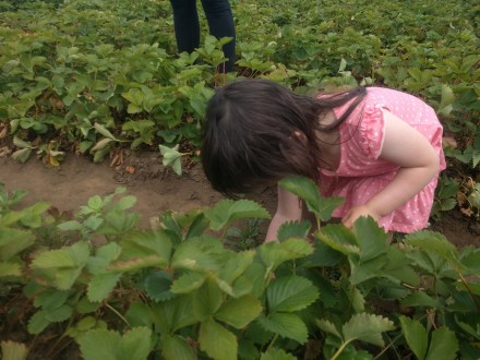 farm_picking_strawberries_5