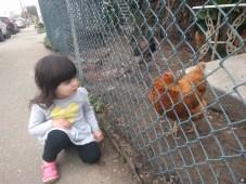 brooke_chicken