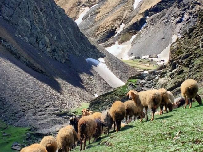 Khinalug sheep flock
