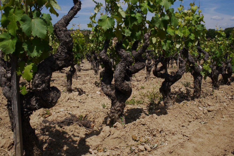 Old vines at Domaine Tempier