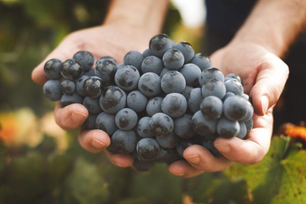 Freshly harvested Bobal grapes