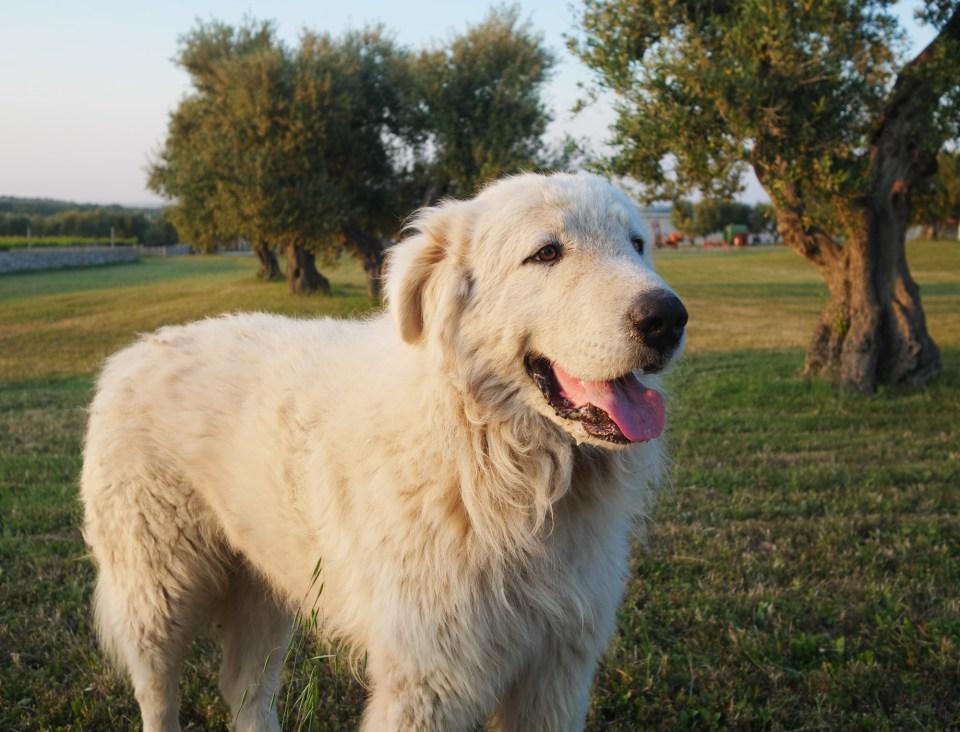 Abruzzo Sheepdog