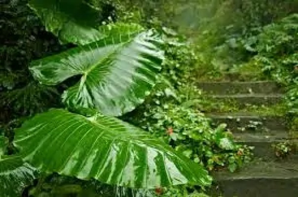 large green leaves