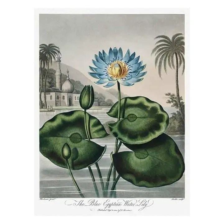 egyptian blue lily Snazzy Trips