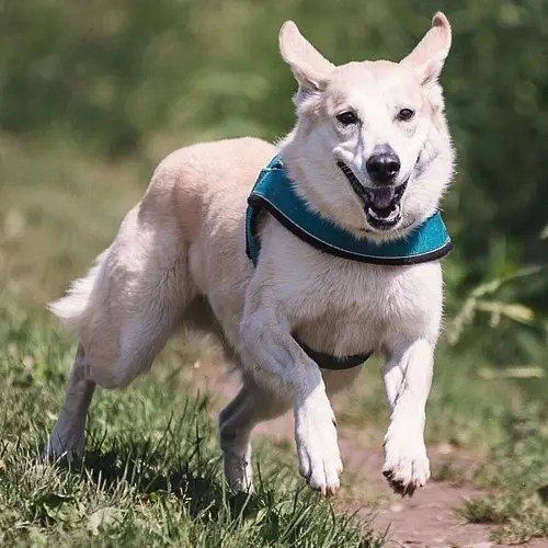 How Many Miles Can A Dog Run?