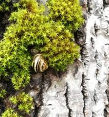 Også hagesnegler klatrer i trær, her på ei osp.