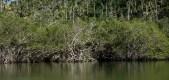 Mangroveskog ved Bocca de Miel