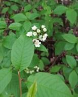 Heggen blomstra og spredte godlukt i skogen.
