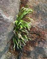 Olavsskjegg - en bitteliten bregne som ligner gress.