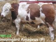 sneumgaard-amadeus-p-simmental-400x280