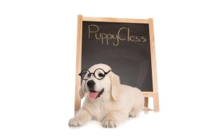 Puppy ready for school training