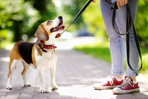 Attentive Beagle Dog on leash