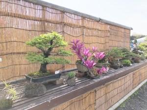 アキニレ 盆栽・日比谷花壇大船フラワーセンター