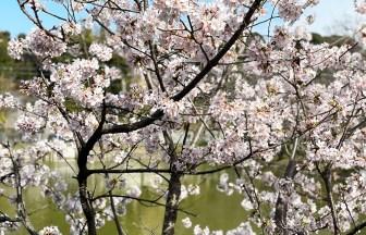 谷戸池の玉繩桜