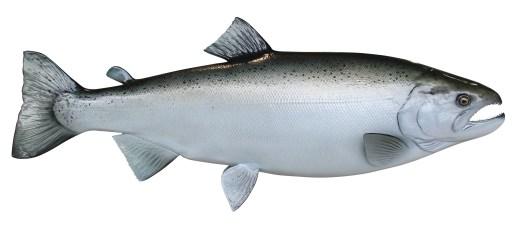 coho-salmon-zoom