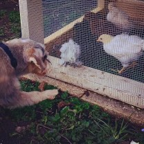 The chickens in their new home, inspected/approved by Bean.