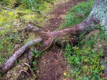 Baumwurzel auf dem Weg, Hiking-Trail Sammalistonpolku in Finnland