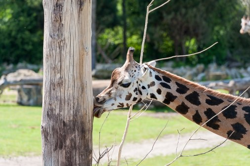 Giraffe in der Kiwara-Savanne
