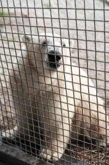 man kommt nah an 300-400 kg Eisbär heran - nicht immer ein positives Gefühl
