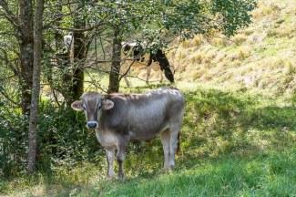 Kuh am Märthesweiher