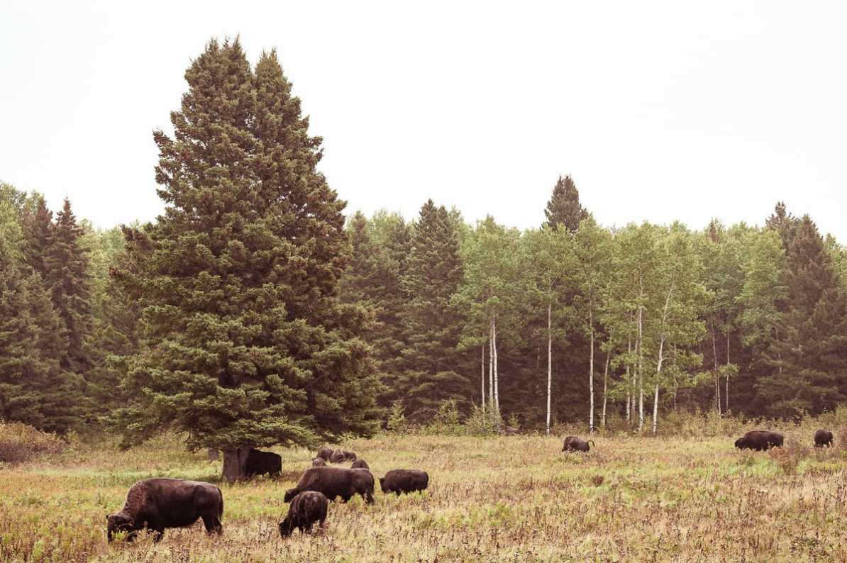 Amerikanische Bisons auf dem Grasland im Riding Mountain National Park.