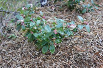 my tiny blueberry bushes