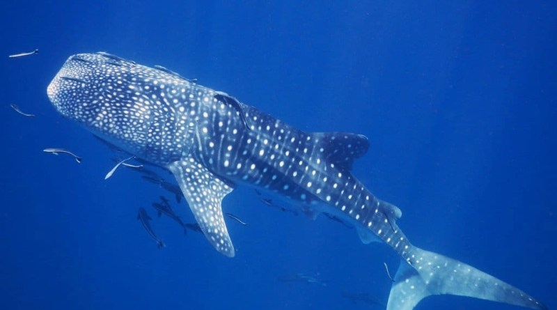 Whale shark on Koh Tao – snorkeling with this gentle giant