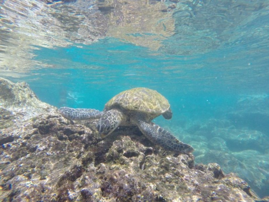 green-sea-turtle-oahu