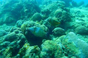 White Spotted Filefish Tobago