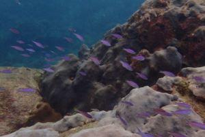 Like Purple Gems in the sea