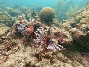 Lionfish Tobago