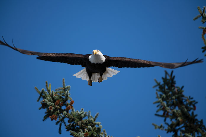 Alaska Eagle Cordova