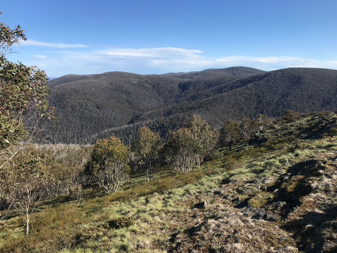 View of Mt Franklin old ski run with thick regrowth